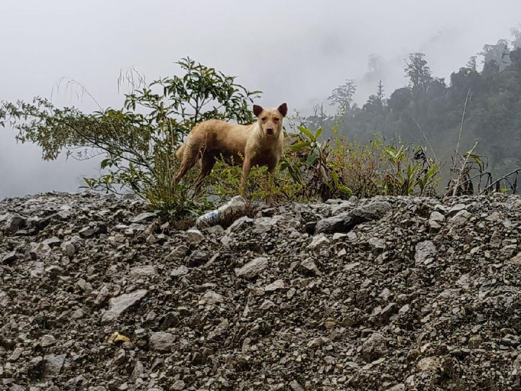 Konflik Bersenjata KKB-TNI Ancam Anjing Bernyanyi Papua yang Langka