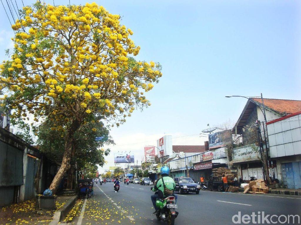 Dibanding Tabebuya, Pemprov DKI Disarankan Tanam Pohon Khas DKI di Cikini