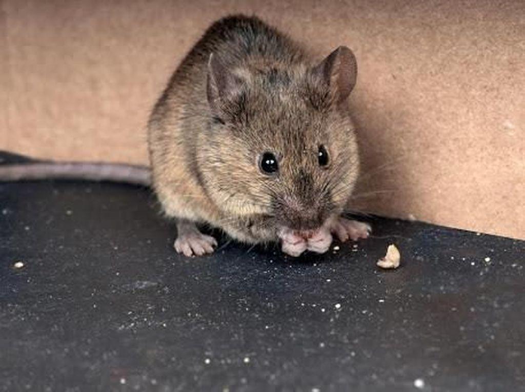 Ketahui Cara Mengusir Tikus Agar Terhindar dari Penyakit Ini
