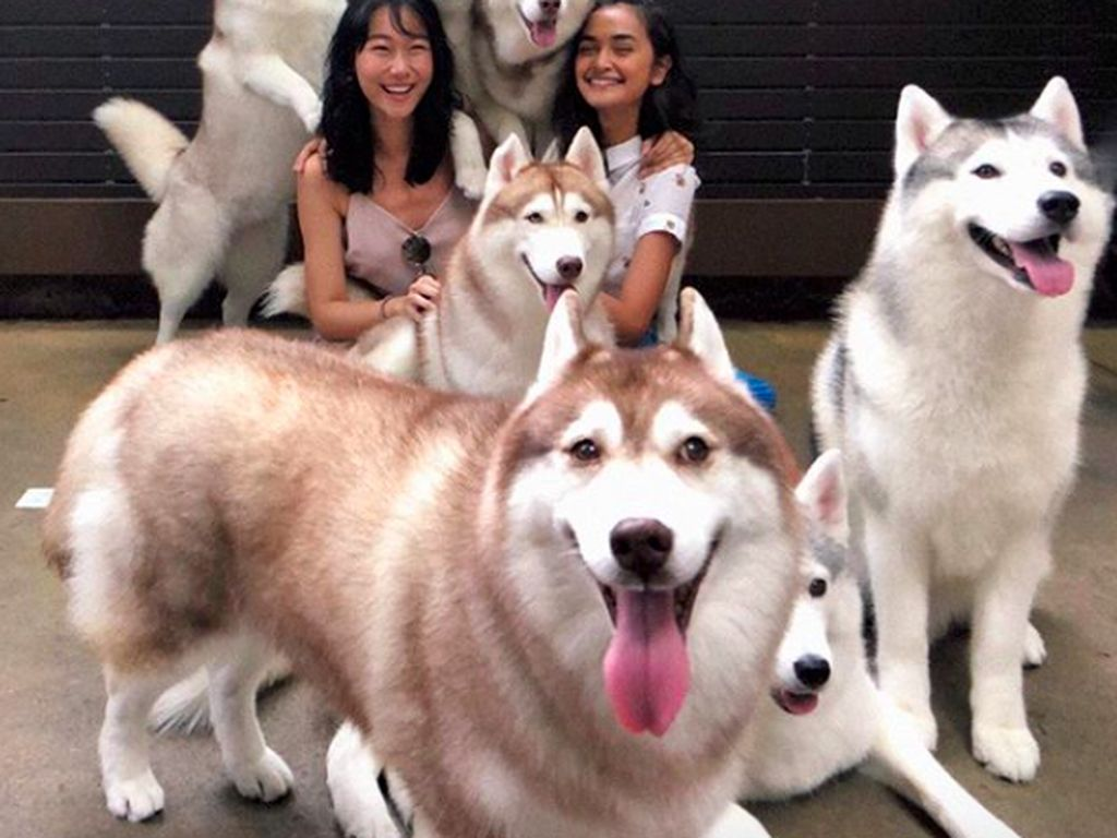 Seru! Di Kafe Ini Bisa Puas Main Bareng Anjing Siberian Husky