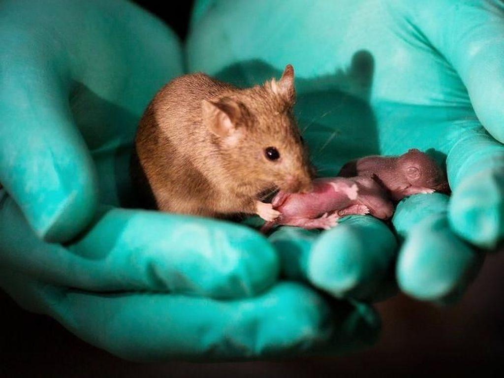 Tikus Sesama Jenis Hasilkan Bayi Lewat Rekayasa Genetika