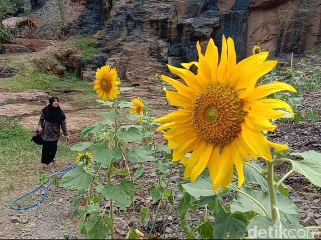 Hamparan Bunga Matahari Cantik di Bandung buat Foto-foto Traveler