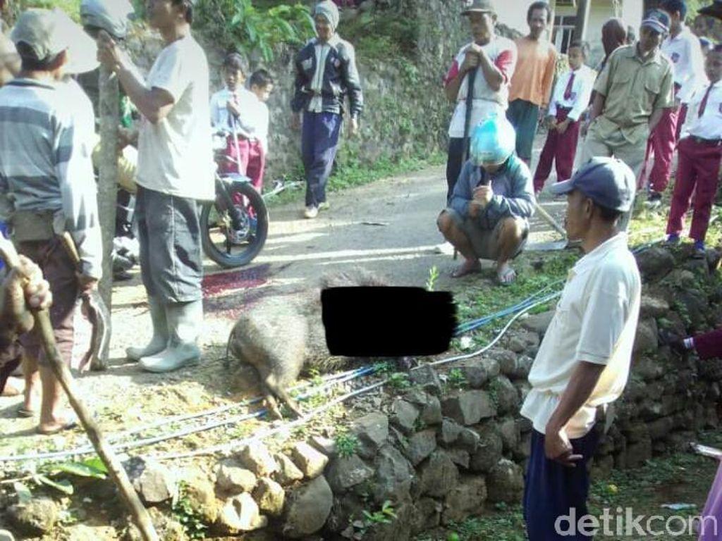 Bikin Kaget, Babi Hutan Ngamuk di Tempat Karaoke Lukai 1 Orang