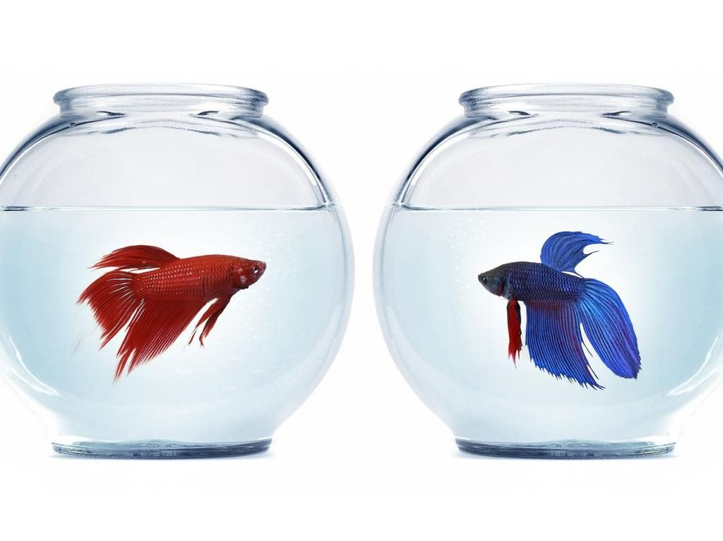 Pakai Ikan Cupang, Cara Warga Pacitan Basmi Jentik Nyamuk