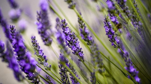 Close Up of Beautiful Lavender blooming in early summer on a sunny day with soft background bokeh