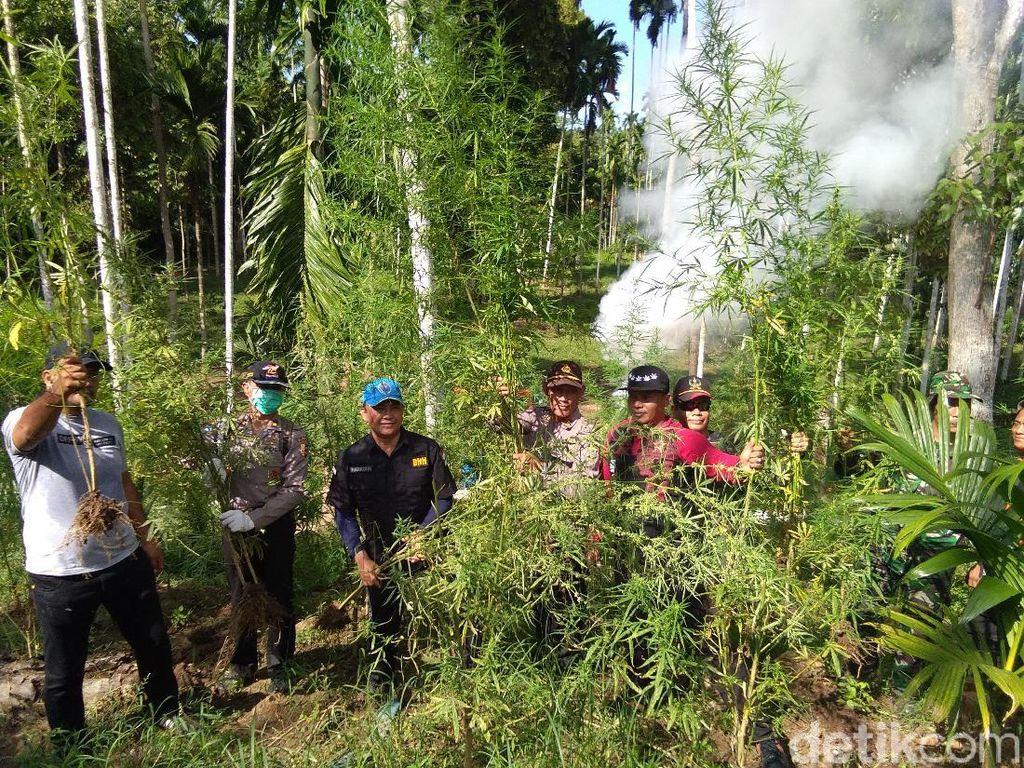 BNN Musnahkan 13,5 Hektare Ladang Ganja di Aceh