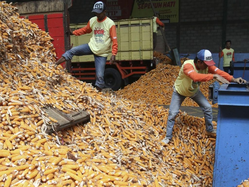 Petani Jagung Bicara Soal Rencana Impor 100.000 Ton