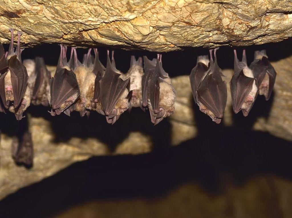 Racun Kelelawar Vampir Bisa Jadi Obat Hipertensi Baru