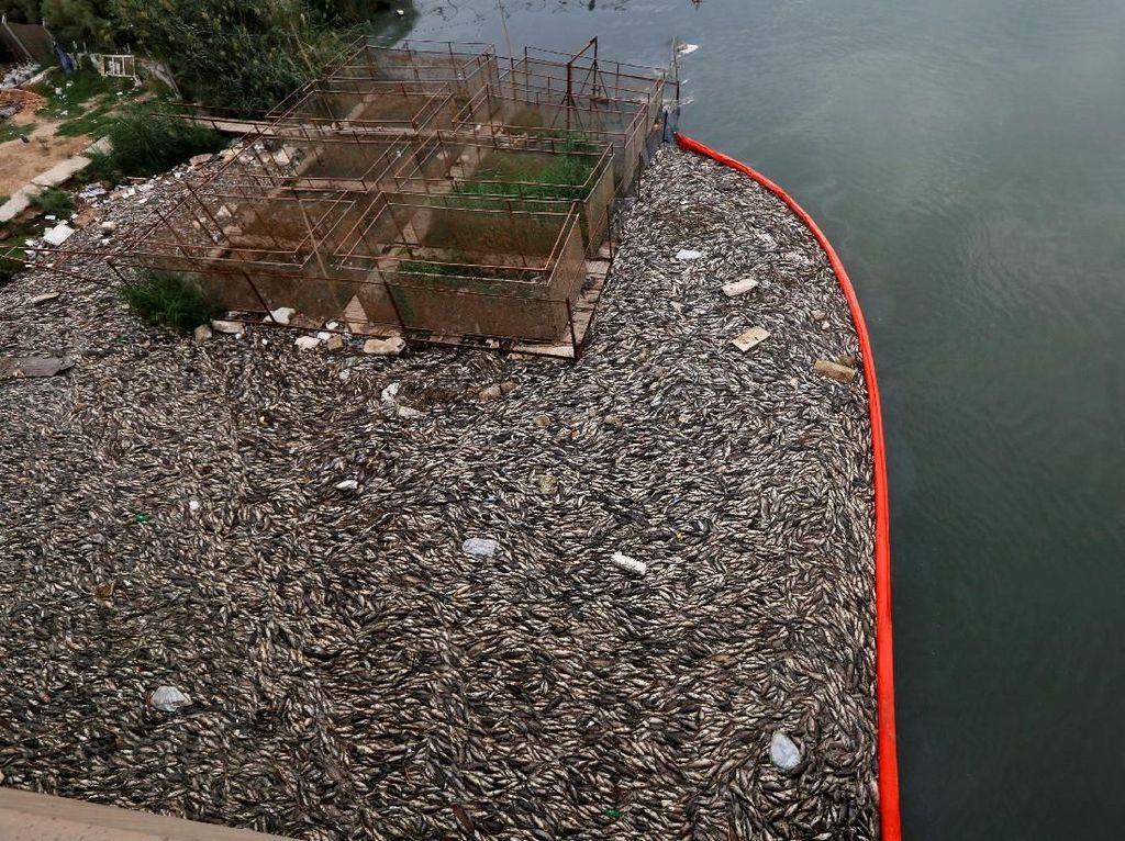 Foto: Misteri Ribuan Ton Ikan Mati di Sungai Eufrat Irak