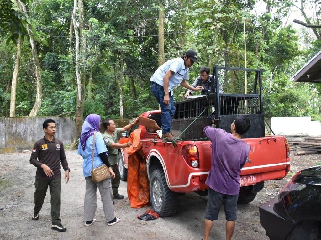 Sempat di Kandang Transit, Macan Akar Dilepasliarkan di Riau