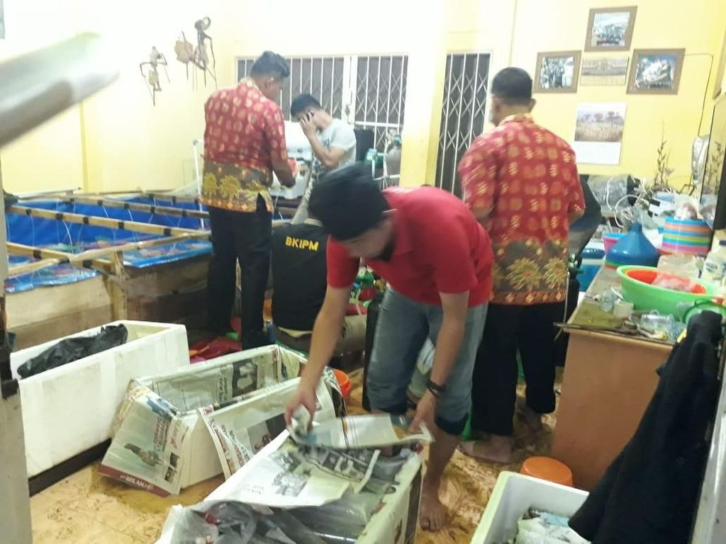 Polisi Gerebek Gudang Penampungan 56.306 Benih Lobster di Jambi