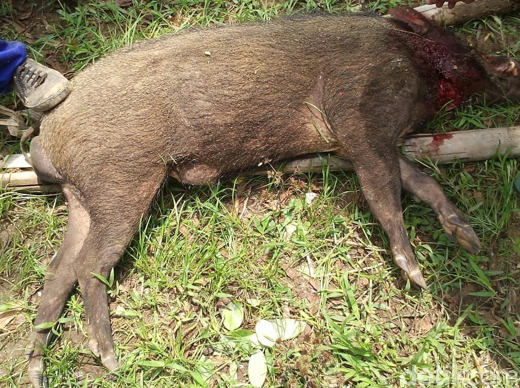 Babi Hutan Serang Warga di Kebumen, 1 Orang Meninggal