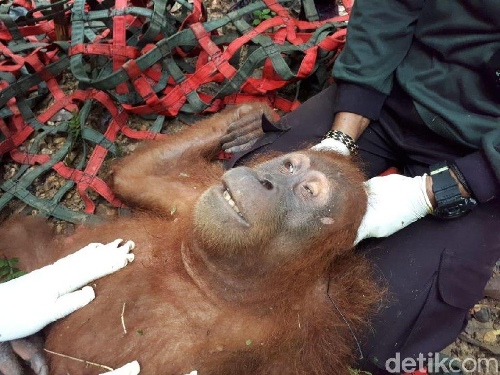 Orang Utan di Aceh Ditembak hingga Matanya Buta