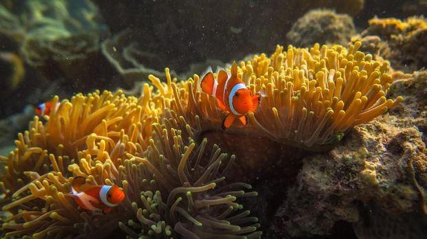 Sejumlah ikan badut (Amphiprioninae) berada di sekitar anemon (Actiniaria) yang hidup di terumbu karang di wilayah peraian konservasi Taman Nasional Karimunjawa (TNKJ), Jepara, Jawa Tengah. ANTARA FOTO/Aji Styawan