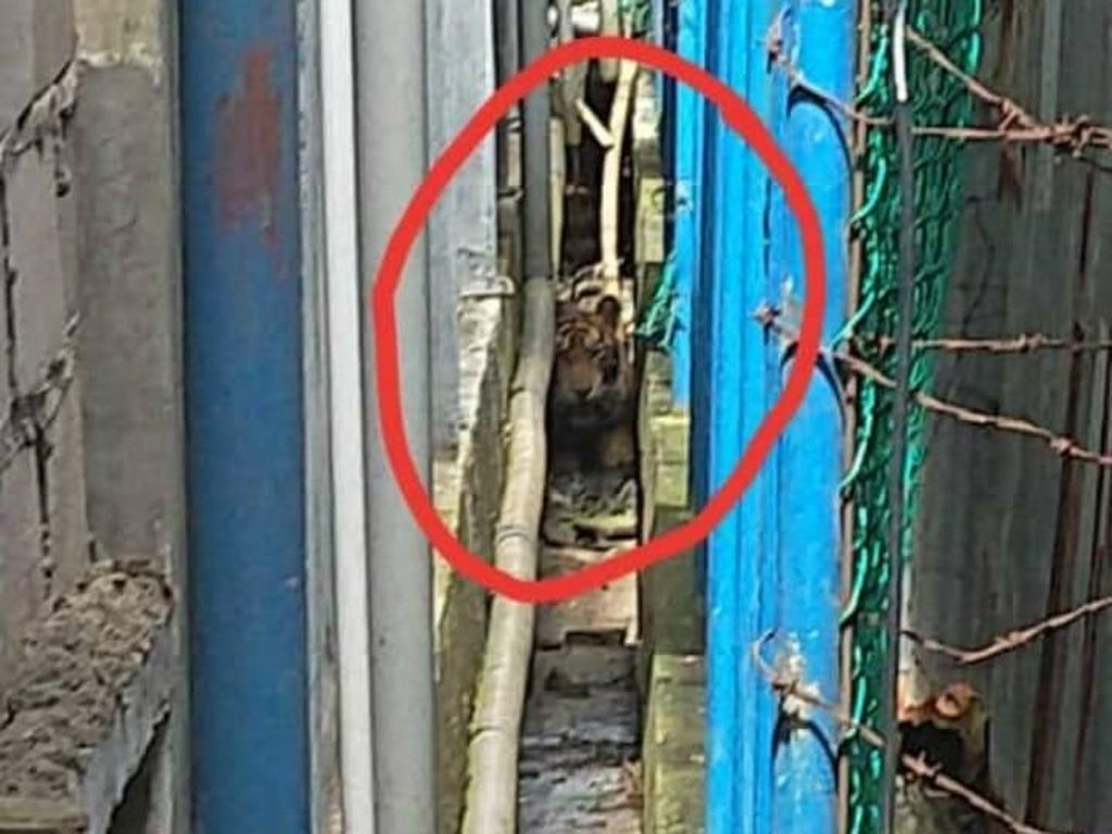 Tatapan Nanar Harimau yang Terjebak 2 Hari di Kolong Ruko