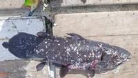 Ikan Fosil Hidup Ini Umurnya Bisa Sampai 100 Tahun