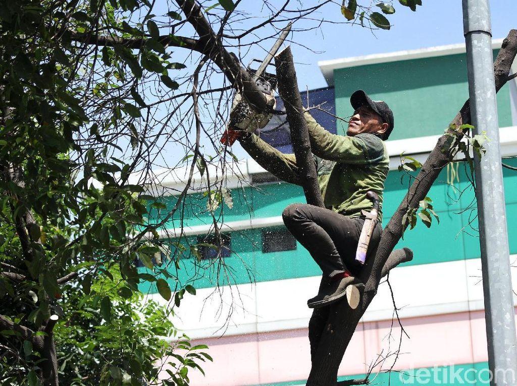 Cegah Tumbang, Petugas Pangkas Pohon Rindang
