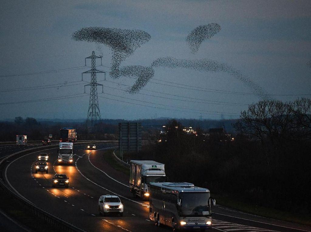 Migrasi Burung Jalak Hiasi Langit Skotlandia