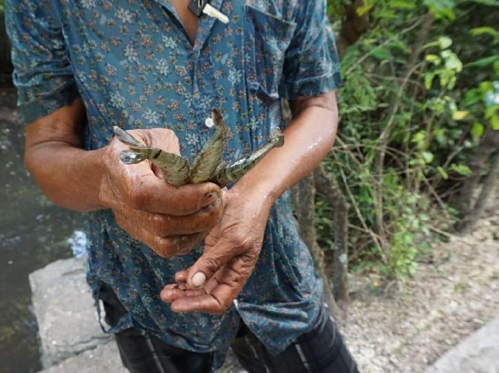Banyak Sampah, Jumlah Kepiting di Hutan Mangrove Teluk Benoa Menurun