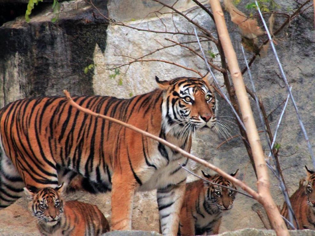 Lucunya Empat Anak Harimau Sumatra yang Lahir di Jerman