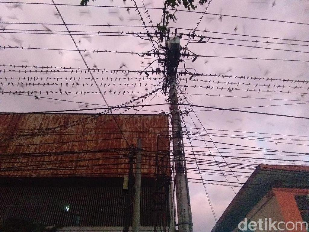 Ribuan Burung Layang-layang Asia Bermigrasi ke Yogya