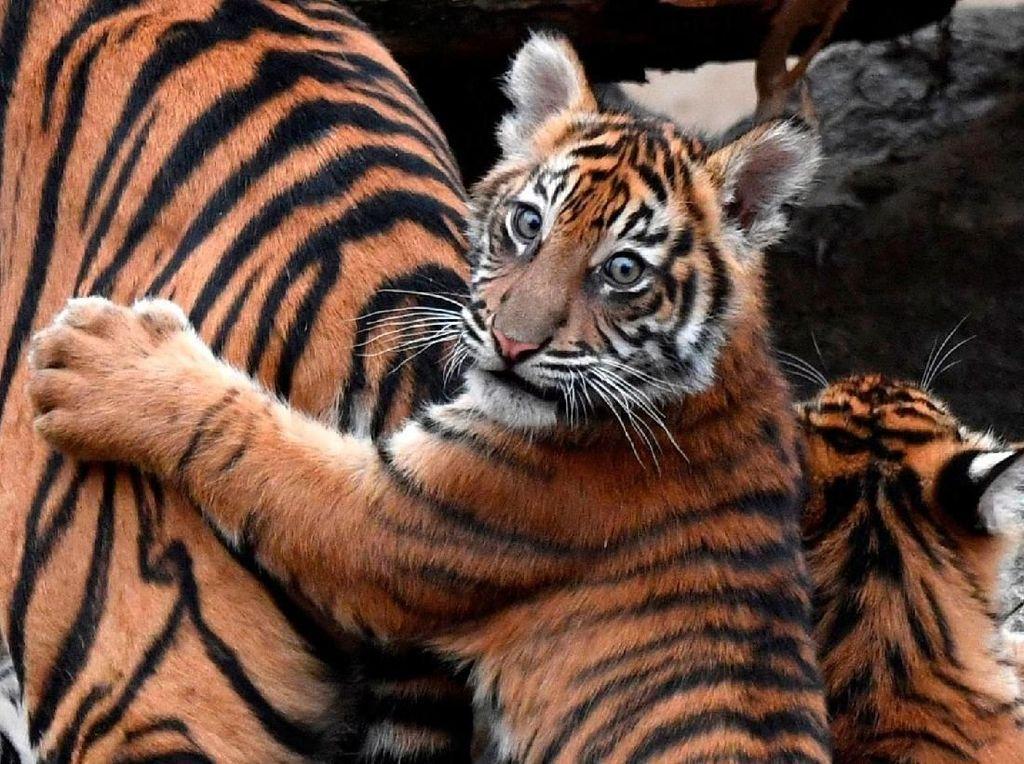 BKSDA Telusuri Bayi Harimau Mati di Kebun Binatang Sumbar