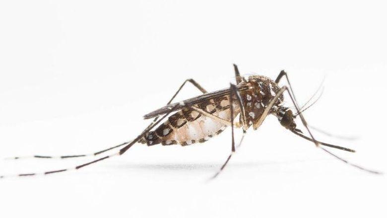 gen mempenagruhi nyamuk