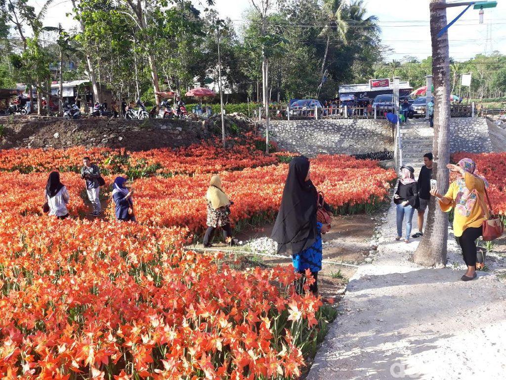 Si Cantik Bunga Amarilis, Dulu Gulma Kini Jadi Primadona