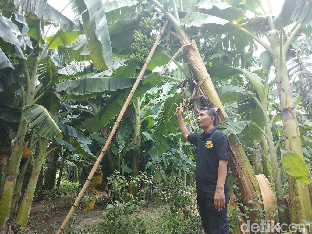 Manis Pisang Hasil Panen dari Pemanfaatan Tanah Kas Desa di Sidoarjo