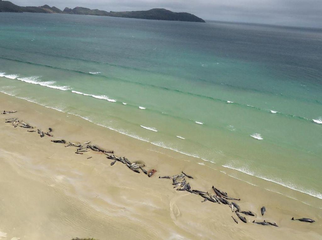 Melihat dari Langit 145 Paus Mati Terdampar di Selandia Baru