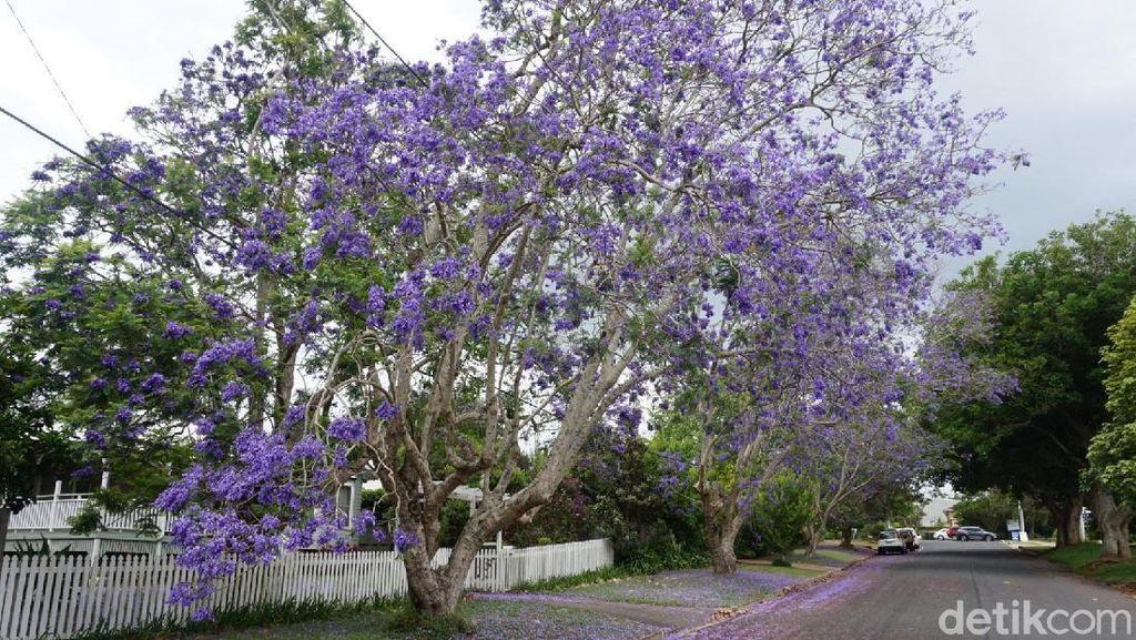 Foto: Si Ungu Cantik dari Australia