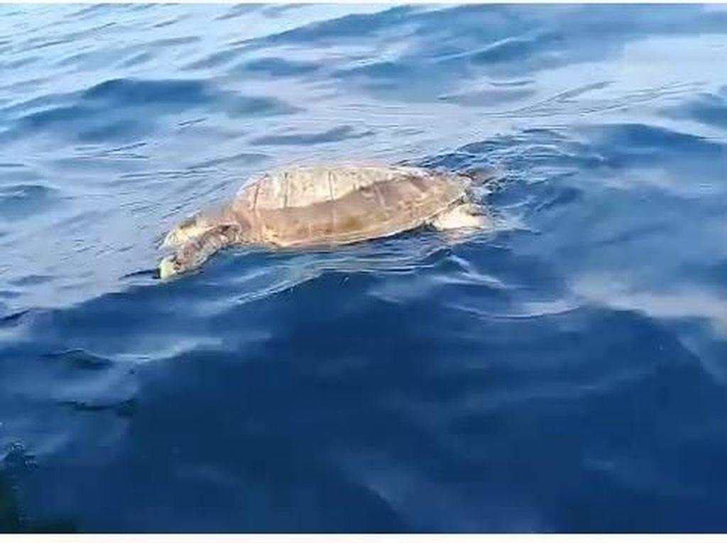 Sudin LH Kepulauan Seribu: Penyu Mati Bukan karena Sampah