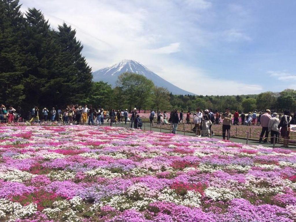 Bukan Sakura, Ini Kebun Shibazakura