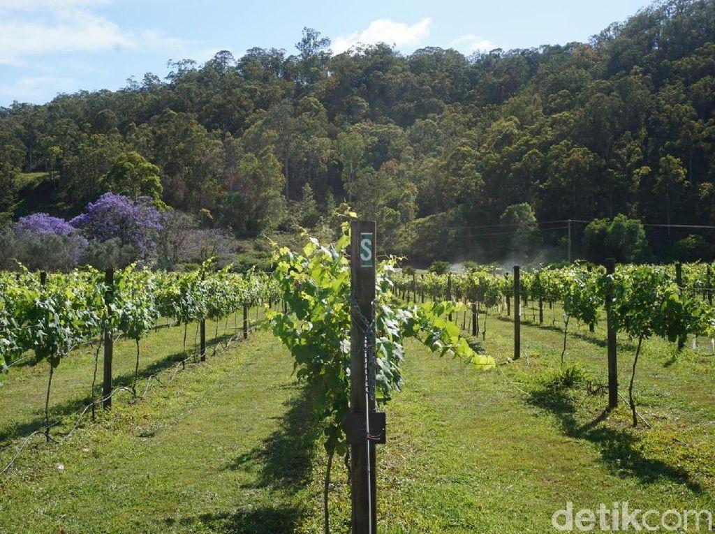 Tempat Sarapan Pagi Terbaik Australia: Di Perkebunan Anggur