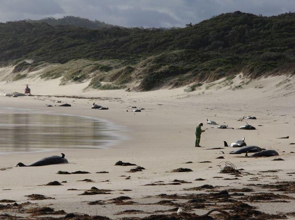 Duh! 28 Ekor Paus Mati Terdampar di Pantai Terpencil Australia