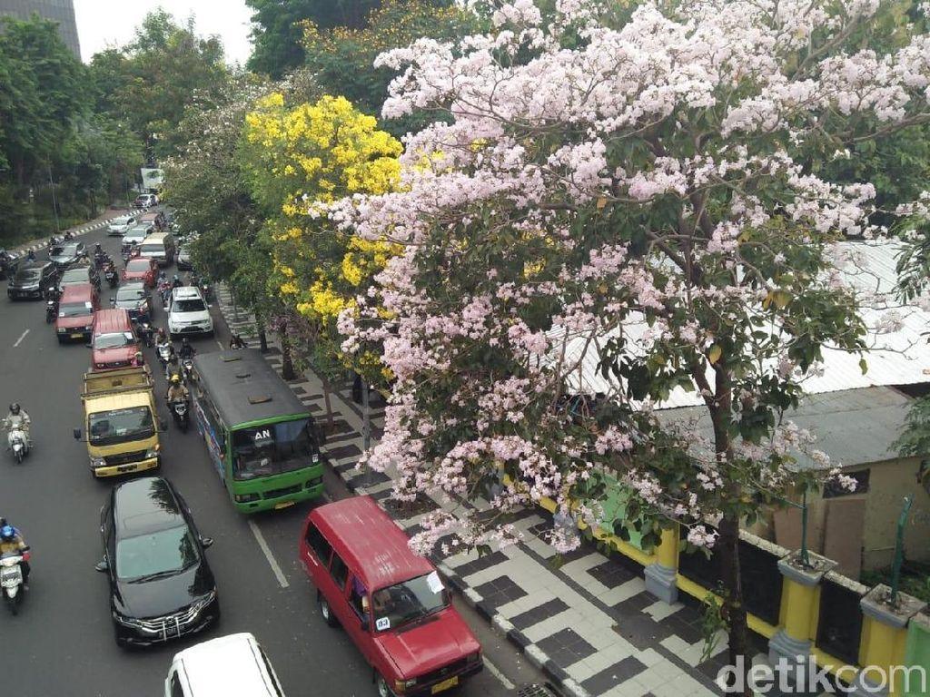 Video: Indahnya Bunga Tabebuya Jadikan Surabaya Seperti Jepang