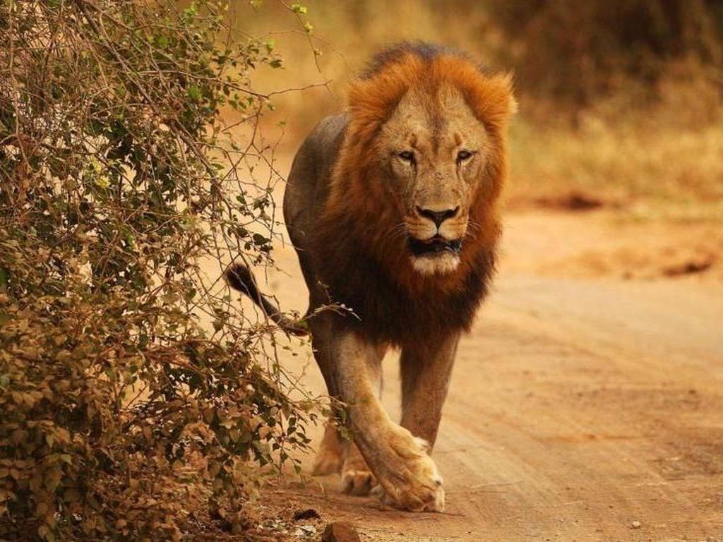Seberapa Greget Kamu? Ikut Safari Lihat Singa, Tapi Jalan Kaki