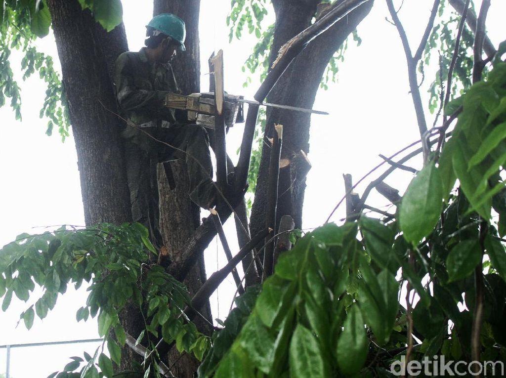Dinas Kehutanan DKI Pangkas Pohon di Kawasan GBK