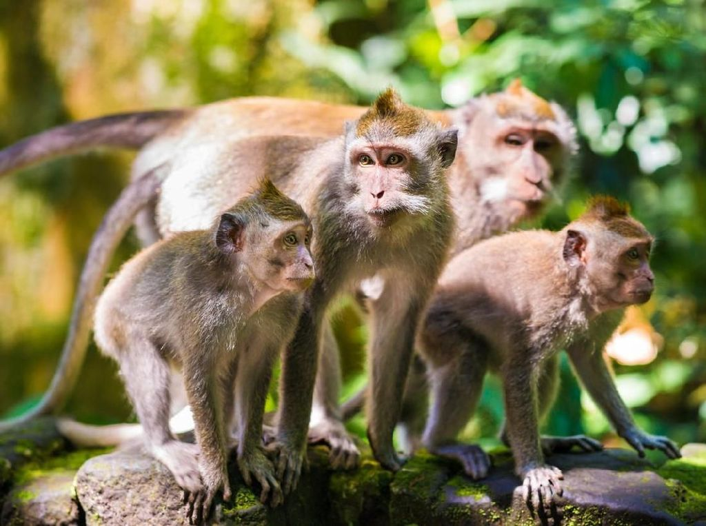 Peneliti China Kloning 5 Monyet Sakit untuk Riset Medis
