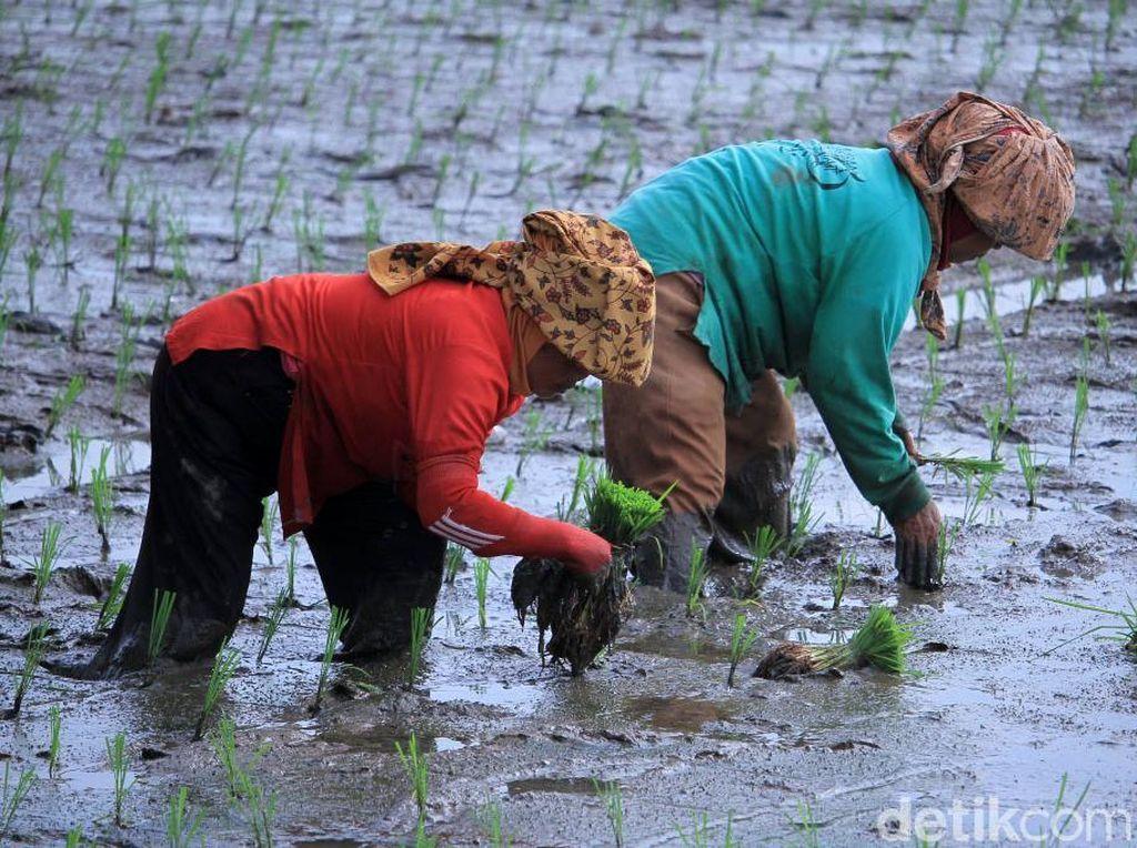 Melihat Proses Tanam Padi di Ciparay Bandung