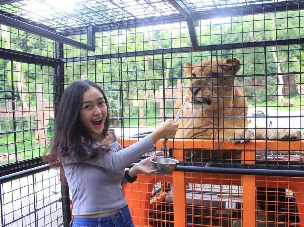 Uji Adrenalin Beri Makan Singa Afrika di Taman Safari Bogor, Mau?