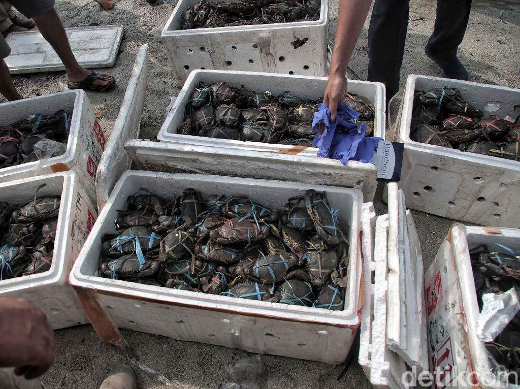 Edhy Prabowo Buka Keran Ekspor Kepiting Bertelur Selama 3 Bulan
