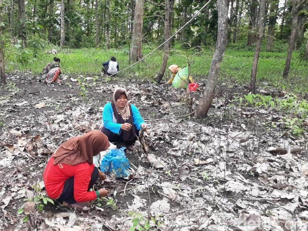 Serunya Emak-emak di Bojonegoro Berburu Kepompong Ulat untuk Lauk