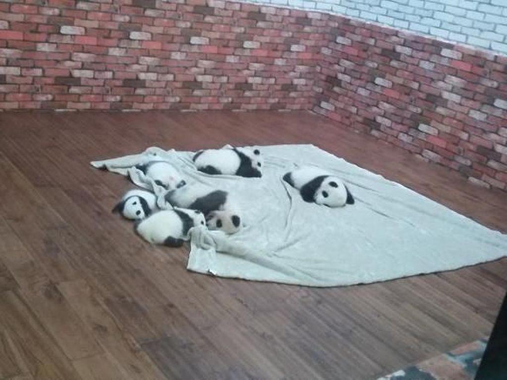 Dijamin Gemas! Melihat Panda di Chengdu, Tiongkok