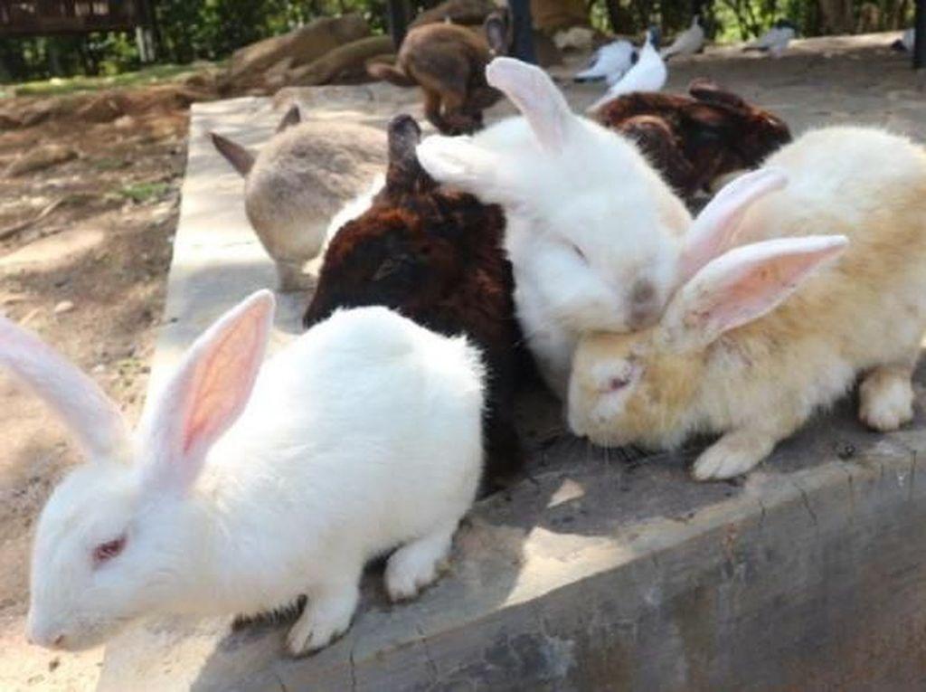 Jumpa Puluhan Kelinci di Kotabaru, Gemas!