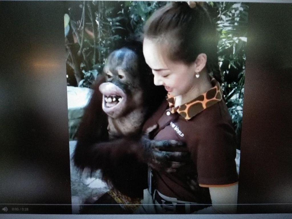 Viral! Orang Utan Remas Payudara Wanita di Bangkok