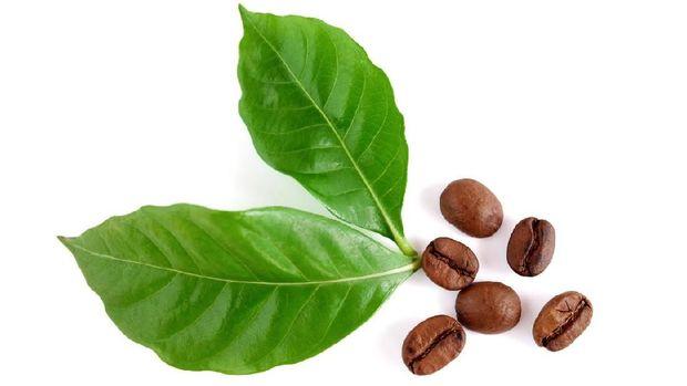 kopi dari daun