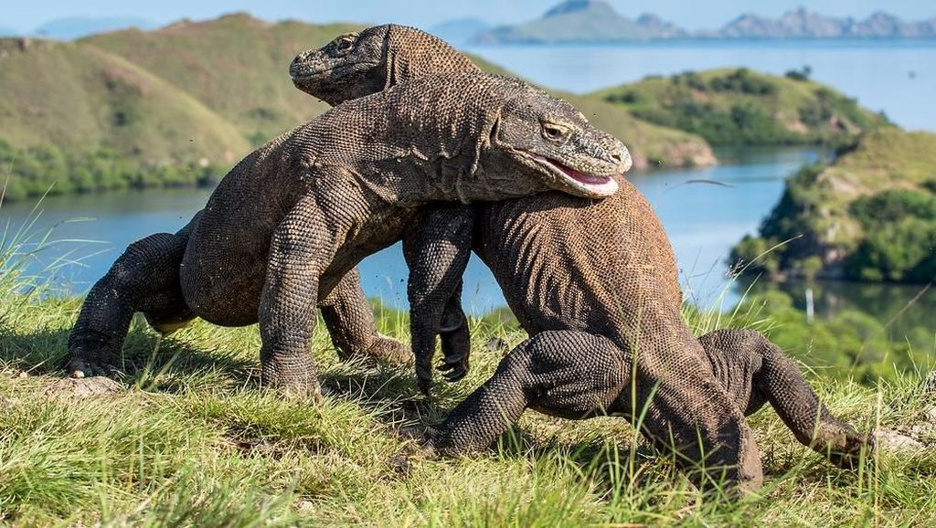Gubernur NTT Mau Tutup Komodo 1 Tahun, Ini Kata Kepala Taman Nasionalnya
