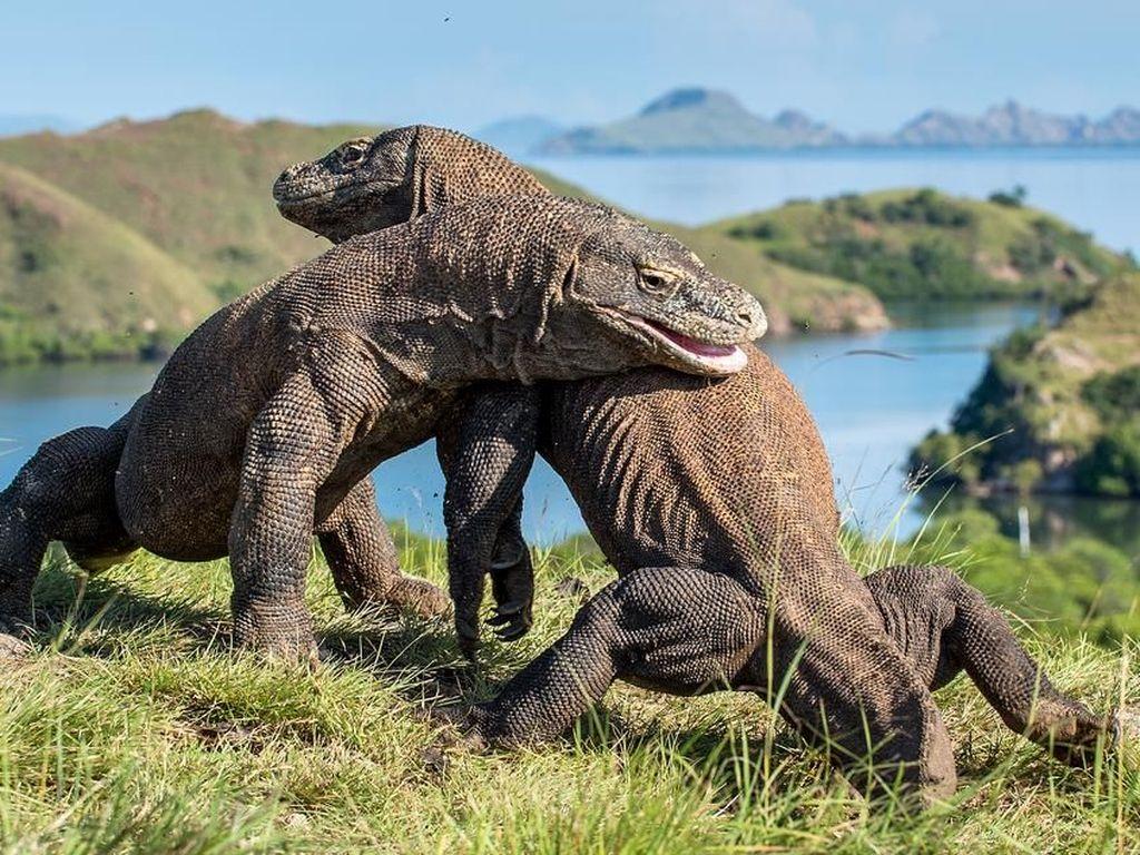 DRGN-1: Rahasia Jutaan Tahun Kesaktian Komodo