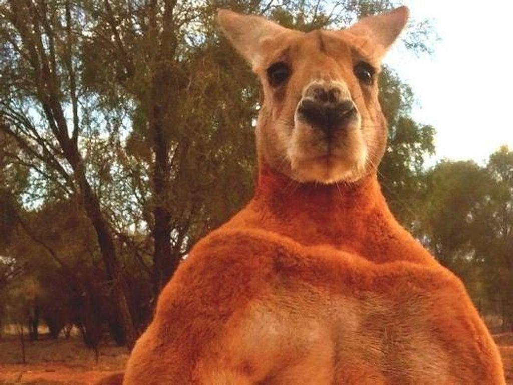 Roger Si Kanguru Perkasa Mati di Usia 12 Tahun